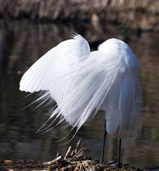Free Great White Egret Cleans Plumelets Stock Photo - 5628910