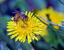 Free Bee And Yellow Dandelion Stock Photography - 5629072