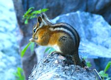 Free Squirrel Royalty Free Stock Images - 5629439