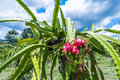 Free Dragon Fruit Is On The Tree Stock Photo - 56222000