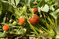 Free Red Strawberry Stock Photo - 5632680