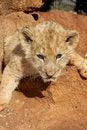 Free Cub Royalty Free Stock Photos - 5632998
