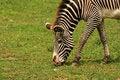 Free Zebra Stock Photo - 5639100