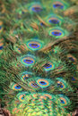 Free Colorful Plumage Of Peacock Stock Image - 5639511