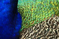 Free Abstract Of Plumage Of Peacock Royalty Free Stock Image - 5639776