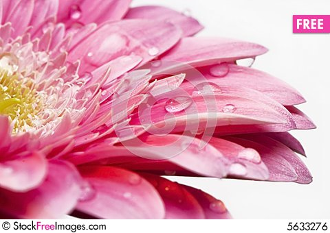 Free Gerber Daisy With Droplets Royalty Free Stock Image - 5633276