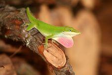 Free Green Lizard Stock Photo - 5630470