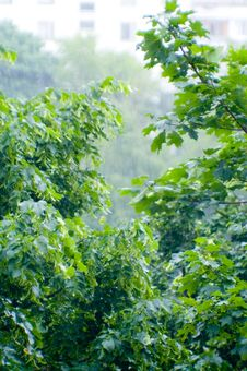 Free Maple Leaves Under Rain Royalty Free Stock Photos - 5630568