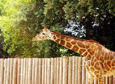 Free Giraffe Stock Images - 5630744