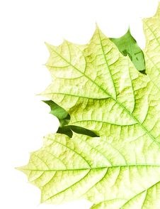 Free Leaves On White Stock Photography - 5630872