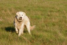 Free White Dog Royalty Free Stock Photos - 5632568