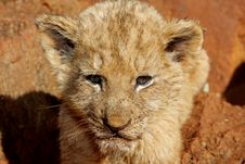 Free Lion Cub Stock Image - 5632601
