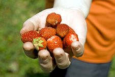Free Garden Strawberry Stock Images - 5632844