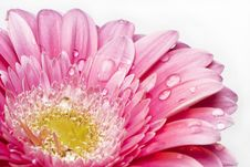 Gerber Daisy With Droplets Stock Photos