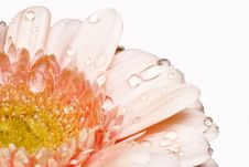 Free Pink Gerber Daisy Stock Image - 5633341