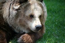 Free Brown Bear Royalty Free Stock Image - 5633426