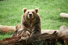 Free Brown Bear Stock Images - 5633454