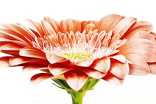 Free Gerber Daisy Royalty Free Stock Photography - 5634377