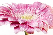 Free Pink Gerber Daisy Stock Photo - 5634560