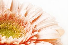 Free Gerber Daisy Stock Image - 5635051