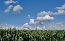 Free Wheat Green Field And Sky Royalty Free Stock Image - 5635106