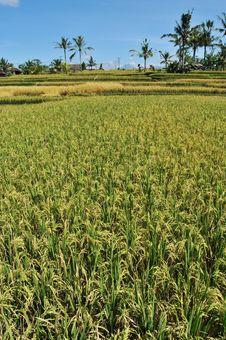Free Rice Paddy Field Royalty Free Stock Photo - 5635155