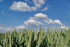 Free Wheat Green Field And Sky Stock Photos - 5635203