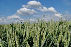 Free Wheat Green Field And Sky Royalty Free Stock Images - 5635299