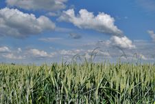 Free Wheat Green Field And Sky Stock Photography - 5635322