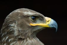 Free Steppe Eagle Royalty Free Stock Image - 5635436