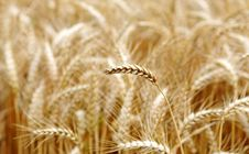 Free Wheat Royalty Free Stock Images - 5635589