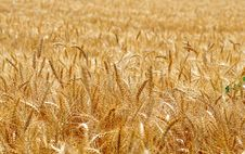Free Wheat Royalty Free Stock Photography - 5635627
