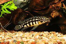 Free Julidochromis Marlieri Stock Photos - 5635663