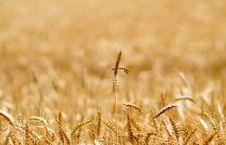 Free Wheat Stock Photo - 5635680