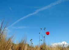 Free Lonely Red Poppy Royalty Free Stock Photo - 5635965