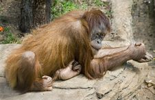Free Orangutan 11 Royalty Free Stock Photos - 5636348