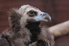 Free Griffon-vulture Stock Image - 5636481