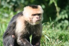 Free Little Monkey Frowning Royalty Free Stock Photo - 5636795
