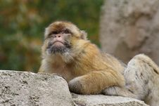 Free Monkey Looking Out Stock Images - 5637004