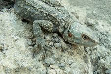 Free Lizard On A Stone Royalty Free Stock Photography - 5637137