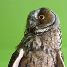 Free Long-eared Owl Royalty Free Stock Photos - 5637448