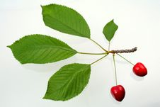 Free Green Sprig With Cherries Royalty Free Stock Images - 5637499