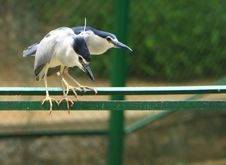 Herons Royalty Free Stock Images