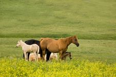 Free Quarter Horses In Clover Royalty Free Stock Images - 5637829