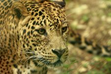 Free Leopard Stock Photos - 5637863