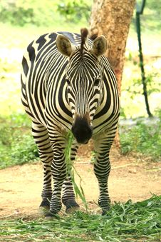 Free Zebra Royalty Free Stock Photo - 5637885
