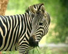 Free Zebra Royalty Free Stock Photography - 5638087