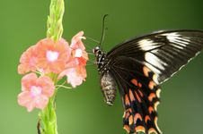 Free Butterfly Royalty Free Stock Images - 5638109
