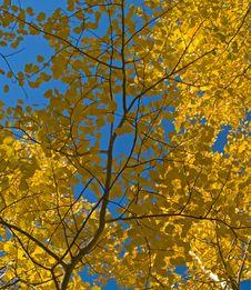 Aspen Leaves Under Blue Sky Stock Image