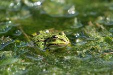Free Frog Royalty Free Stock Photo - 5638205